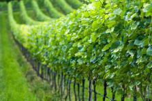 Les vins et crémants luxembourgeois sont mondialement connus pour leur qualité.