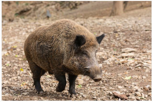 peste porcine