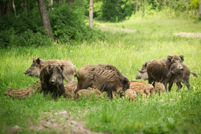 La progression de la peste porcine africaine (PPA) s'oriente désormais vers le nord de la province de Luxembourg.